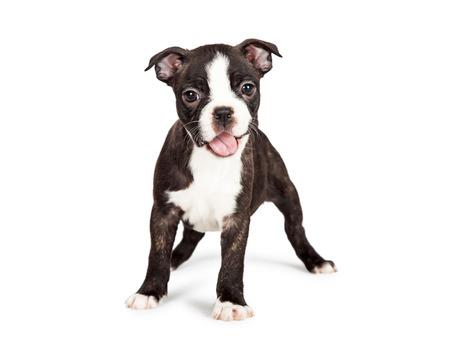 口で可愛くて幸せな 7 週間の古いボストン テリア子犬を開く笑顔