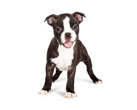 A cute and happy seven week old Boston Terrier puppy with mouth open smiling