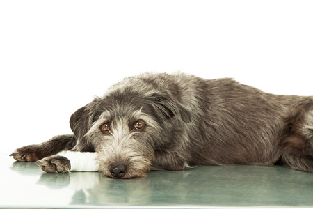 A mixed breed dog with an injury on her leg laying down of a steel hospital exam room table