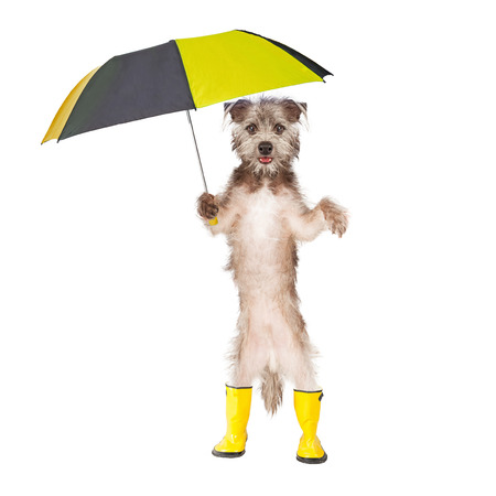 Cute dog standing holding a rain umbrella and wearing yellow rain boots Stock Photo