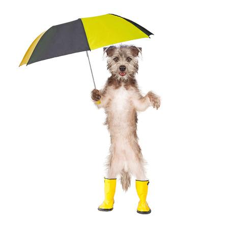 Cute dog standing holding a rain umbrella and wearing yellow rain boots Stockfoto