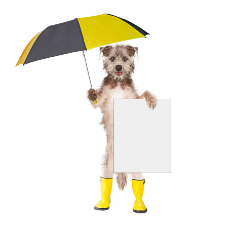 blank sign: Cute terrier dog wearing yellow rain boots holding umbrella and blank sign