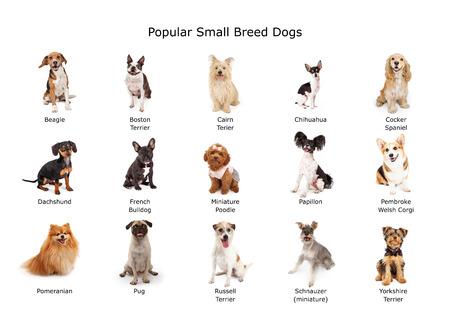 Een groep van vijftien gemeenschappelijke kleine rassen gedomesticeerde honden Stockfoto