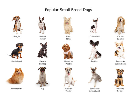 miniature breed: Un grupo de quince raza pequeña común perros domésticos