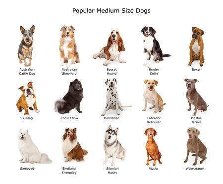 chien: Un groupe de quinze différentes races de taille moyenne de la famille des chiens Banque d'images