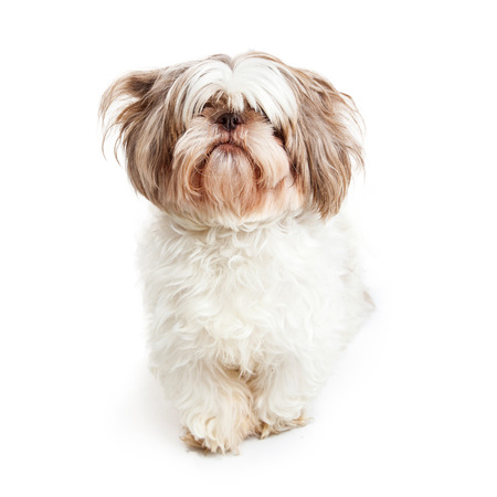 lapdog: Cute Shih Tzu dog with long hair fringe covering her eyes needing grooming Stock Photo