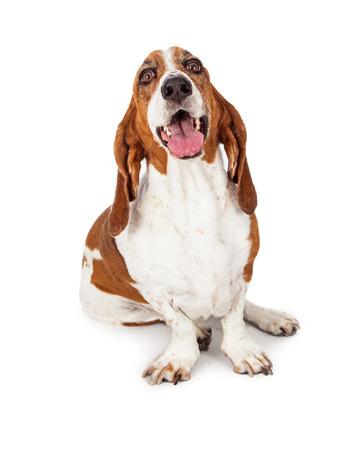흰색 배경에 앉아 바 셋 하 운 드 품종 개가 행복 하 고 웃는