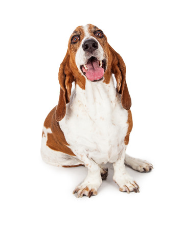 Happy and smiling Basset Hound breed dog sitting on a white background