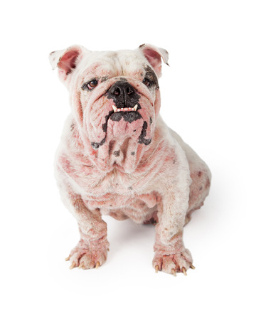 medium body: A white Bulldog with late stage demodectic mange and red irritated skin sitting while looking off to the side