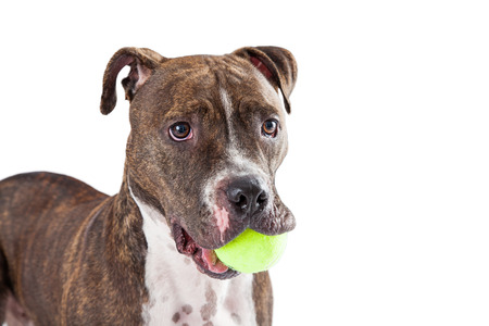pit bull: A cute Staffordshire Bull Terrier Dog with a yellow tennis ball in its mouth.