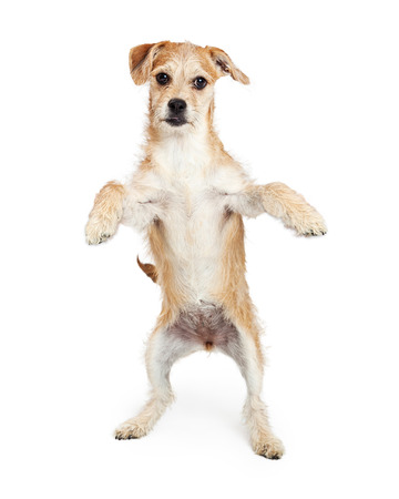 Cute terrier crossbreed puppy standing up on his hind legs with paws up for easy placement of your product or message