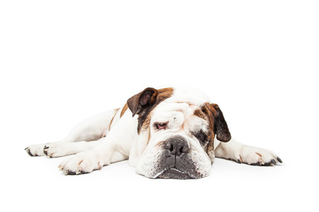 breed: Funny photo of a Bulldog breed dog laying down flat with legs spread out wide