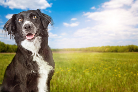 border collie: A closeup photo of a cute and happy Border Collie Dog with a green grass field and blue sky in the background