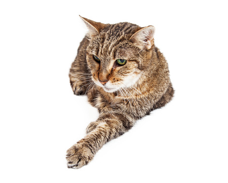 laying forward: A senior tabby cat laying on a white background with one paw stretched forward