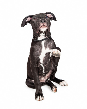six month old: A cute six month old mixed large breed puppy dog raising his paw up to shake hands