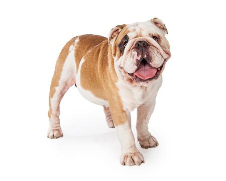 bulldog: Un dogo adorable y feliz que se coloca en un �ngulo, mientras que mirando a la c�mara.