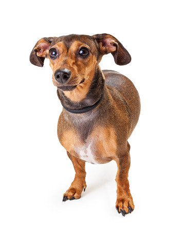 doxie: A cute and shy Dachshund Mixed Breed Dog standing. Ears are extended out to the side and back behind the head.