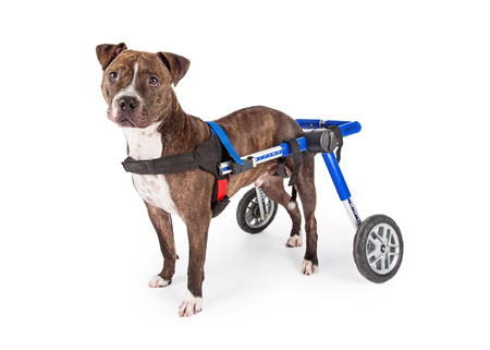 A handicapped Staffordshire Bull Terrier Dog in a wheelchair looking at the camera. Stockfoto