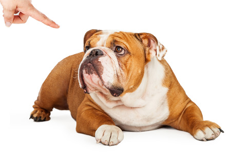 behavioral: A guilty looking English Bulldog breed dog laying down and looking up at an owner that is pointing a finger at him in disapproval Stock Photo