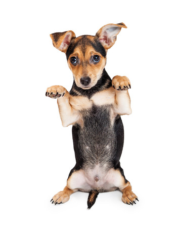 Chihuahua Mixed Breed Three Month Old Puppy begging.  Perfect for holding a sign or other visual media. Stock Photo - 43621495