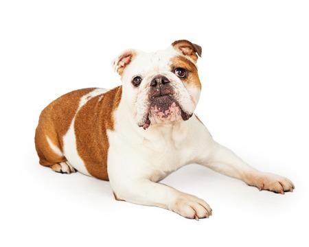 laying forward: An obedient English Bulldog laying while looking forward. Stock Photo