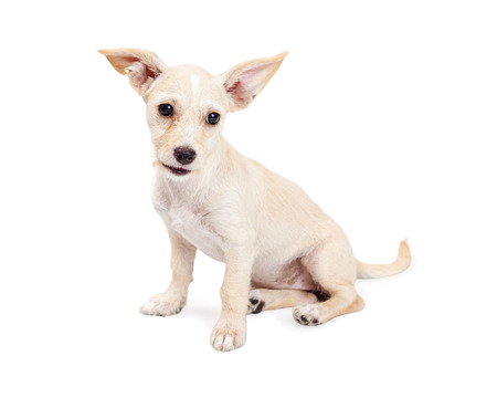 perky: Cute little three month old Chihuahua crossbreed dog with big perky ears sitting and looking to the side Stock Photo