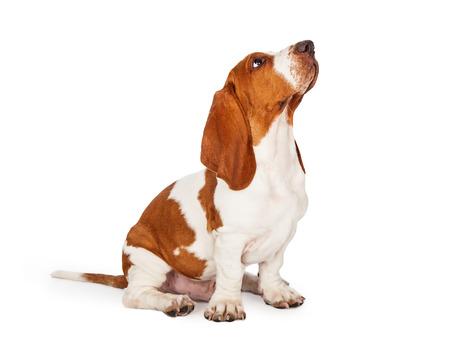 Un simpatico e ben addestrato cucciolo di cane Basset Hound alzando lo sguardo mentre seduto in un angolo.