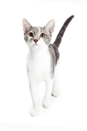 pet cat: Cute little gray and white kitten walking forward and looking up