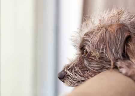 Small dog resting head on back of a couch looking out the window waiting for his owner to come home Stockfoto