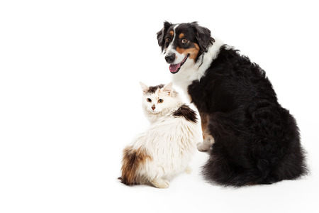 facing away: A large Australian Shepherd breed dog and longhair cat sitting facing away and looking back towards the camera Stock Photo