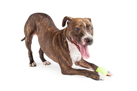 A very playful Staffordshire Bull Terrier Dog with a yellow tennis ball bowing at an angle to the camera