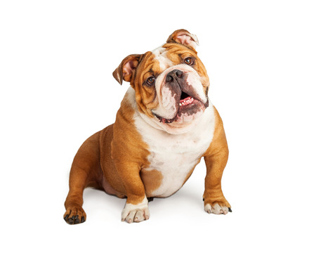 A very happy English Bulldog smiling while sitting and looking into the camera.