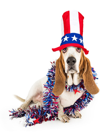 memorial: Cute and funny Basset Hound breed dog wearing an American Fourth of July themed hat and boa Stock Photo