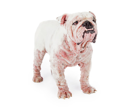 canine: A large white Bulldog with late stage demodectic mange, missing fur and red irritated skin