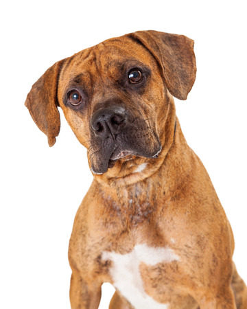 large dog: A gorgeous head shot of a large Boxer and Pit Bull mixed breed dog
