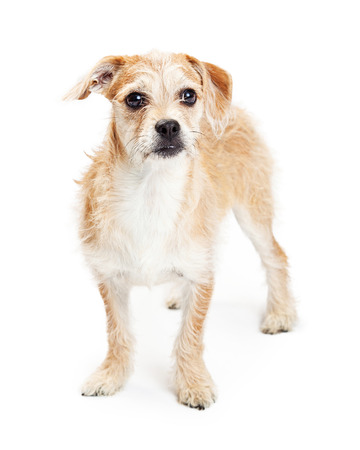scruffy: Adorable four month old scruffy terrier crossbreed dog standing on a white background