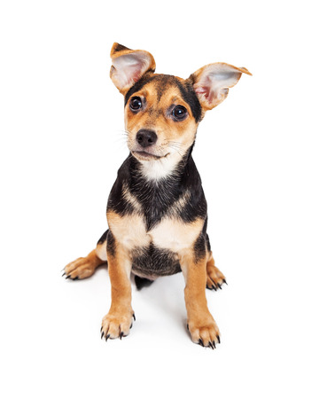 animal ear: Adorable three month old Chihuahua and terrier crossbreed dog with big perky ears sitting on a white background Stock Photo