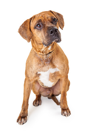 breed: A well trained large Mixed Breed Dog sitting looking up at an angle Stock Photo