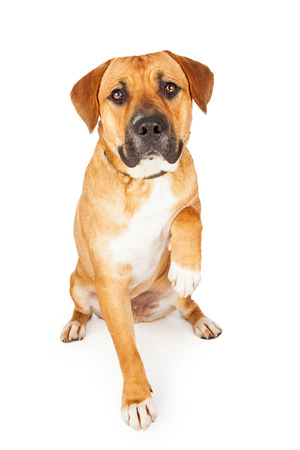 facing on camera: Large Mixed Breed Dog extending paw for a shake.  Dog is sitting while facing camera. Stock Photo