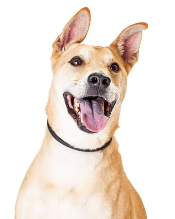 large dog: Close up of White and Tan Large Mixed Breed Dog with an open mouth and happy expression
