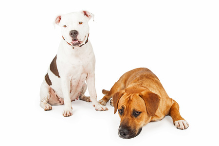 laying forward: American Staffordshire and Large Mixed Breed Dogs sitting and laying together.  One dog is looking forward the other is laying on the floor.