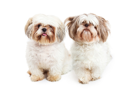 lapdog: Two cute Shih Tzu purebred dogs sitting and looking forward Stock Photo
