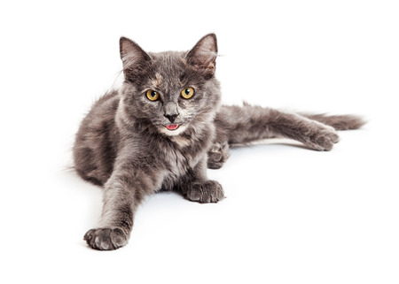 six month old: Cute and happy little six month old grey color kitten smiling and laying down with one leg stretched forward Stock Photo