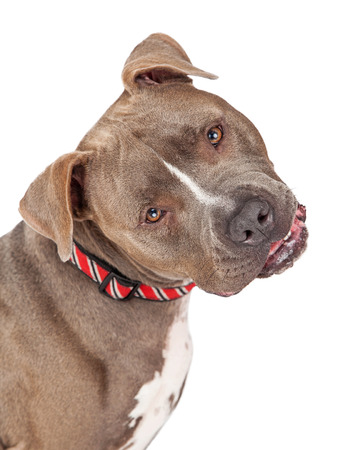 curiously: Head shot of Pit Bull Terrier Dog looking curiously into the camera and tilting his head.
