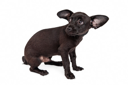 A shy and afraid young black color rescue dog cowering and looking back