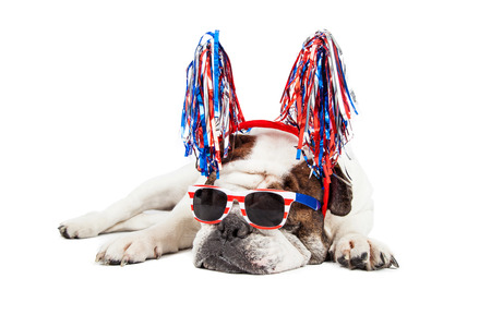 Funny photo of a Bulldog breed dog wearing red, white and blue sunglasses and pom-pom headband