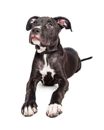 six month old: A cute six month old mixed large breed puppy dog with big paws laying down and looking up