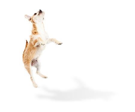 텍스트에 대 한 바닥에 그림자와 흰색 복사본 공간으로 공중에 점프 귀여운 장난 테리어 잡종 강아지 스톡 콘텐츠
