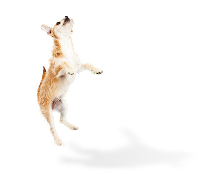 barking: Cute and playful terrier crossbreed puppy dog jumping up in the air with a shadow on the floor and white copy space for your text