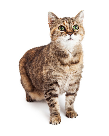 sit: Cute young brown color tabby cat sitting on a white studio background looking up